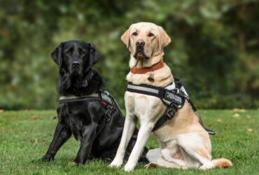 dois cães guia
